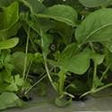 Hydroponické pěstování rostlin