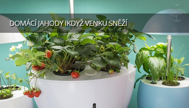 Domácí jahody i v zimě